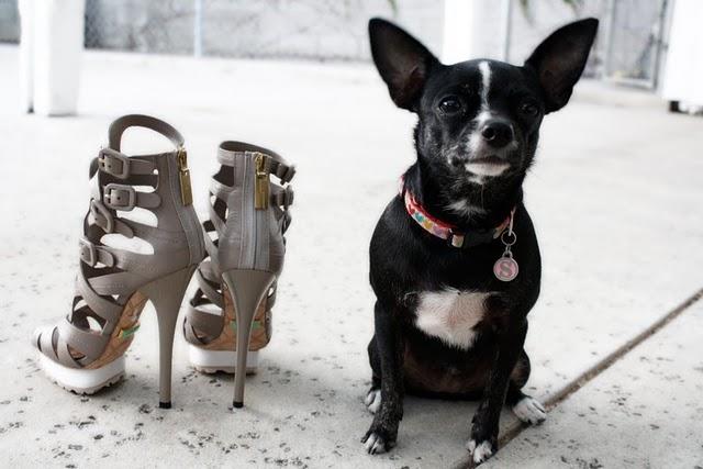 Chihuahua and heels